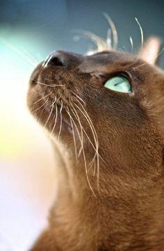 Burma cat, beautiful