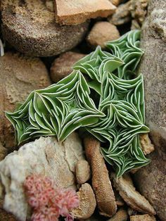 Starfish succulents - I'd like to find some these to add to my garden.