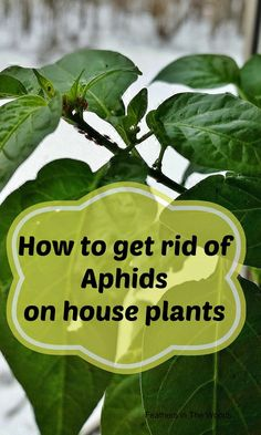 Feathers in the woods: Can I get a ladybug? What to do about Aphids on houseplants