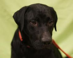 Lincoln  Black Labrador Retriever/Shar Pei Mix: An adoptable dog in Toledo, OH     www.petfinder.com/petdetail/22020389