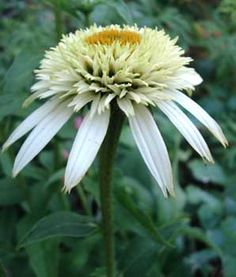 'Coconut Lime' Double Coneflower