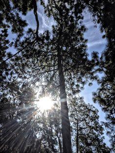 Sunburst through a Mexican Pine