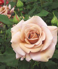 Koko Loko Rose Plant
