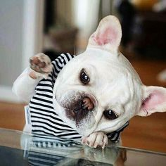 Frenchi Friday High 4 with my paw! The cutie @theobonaparte via @frenchie.world | #frenchbulldog #frenchie  Check out our webpage to see our current doggy clothing collection (link in bio). Full doggy clothing line coming soon!  #doggydoolittle #dogclothes #puppyclothes #dog #dogs #dogsofinstagram #pooch #pooches #puppy #puppylove #dogstagram #poodles #puppies #cute #cutepuppyclub #cutedog #cutepuppy #cutestpuppyever #puppiesofinstagram #cutie #igdogs #pup #instadog #instapuppy by…