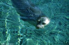 Μεσογειακή φώκια - Mediterranean monk seal