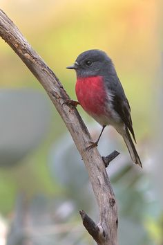 Rose Robin (Petroica rosea) - photo by birdsaspoetry ""