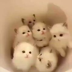 Cute Baby Kitten Girl Names; Cute Kittens And Puppies And Bunnies Wallpaper Cute Cats And Kittens, I Love Cats, Kittens Cutest, Kitty Cats, Fluffy Kittens, Fluffy Cat, Siamese Cats, Cute Funny Animals, Cute Baby Animals