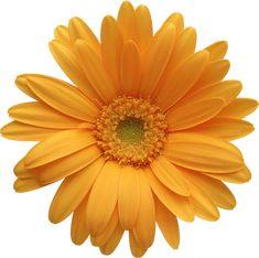 Orange Gerber Daisy Clipart