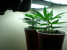 Should You Consider Marijuana Addiction Treatment? Hydroponic Shop, Hydroponics, Cannabis Seeds For Sale, Grow Lamps, Seeds Online, Weed Seeds, Marijuana Plants, Judo, Medical Marijuana