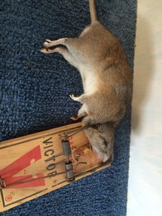 How to Get Rid of Rodents - Do Pest Control Yourself