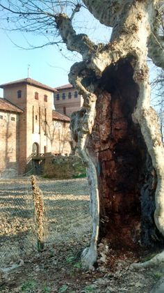 Old tree in #Cherasco