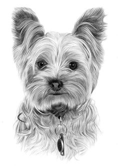 Portrait Mastery - Toy Dog Yorkshire Terrier pencil drawing print - size - artwork signed by artist Gary Tymon - Ltd Ed 50 prints only - pencil portrait - Discover The Secrets Of Drawing Realistic Pencil Portraits Dog Pencil Drawing, Pencil Portrait Drawing, Pencil Drawings, Drawing Drawing, Art Drawings, Pencil Art, Chien Yorkshire Terrier, Yorky Terrier, Tatoo Dog