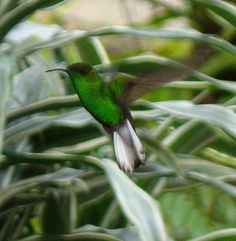 The White-Tailed Emerald Hummingbird (Elvira chionura)  is found in Costa Rica & Panama. Weighs less than 3 grams, is one of the smallest birds. They enjoy gathering nectar from shrubs and vines around the interior or edge of the forest, and also hawk for flying arthropods. While females tend to stay in the understory, males spend more time in the forest canopy. Both males and females are green above and have black tips to the white outer tail feathers.