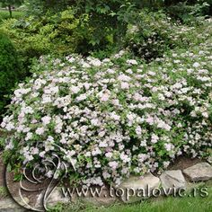 24 Best Spiraea Images Plants Garden Flowers