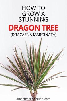 Dragon Tree Care, Dragon Tree Plant, Dragon Blood Tree, House Plant Care, House Plants, Madagascar Dragon Tree, Dracaena Plant, Air Cleaning Plants, Plantas Bonsai