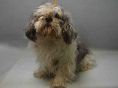 SAFE❤️❤️ 3/8/16 BY NEXT STOP FOREVER❤️ THANK YOU❤️SUPER URGENT Brooklyn Center LATIOS – A1066516 MALE, WHITE / GRAY, MALTESE MIX, 10 yrs STRAY – STRAY WAIT, NO HOLD Reason STRAY Intake condition EXAM REQ Intake Date 03/02/2016, From NY 11212, DueOut Date 03/05/2016, I came in with Group/Litter #K16-049291.
