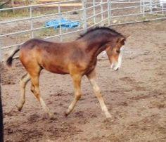 Sawyer - Bay  Welsh Pony Colt in , British Columbia V2n5s3, Canada