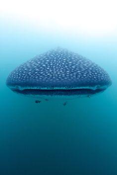 oceanic-adventures: Eye to eye with a Whale Shark (Rhincodon typus) (by steve de neef) Orcas, Motifs Animal, Life Aquatic, Underwater Life, Ocean Creatures, Mundo Animal, Sea And Ocean, Sea World, Fauna