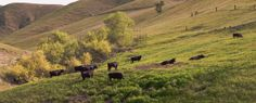 Breckenridge Road Pastorale by Wayne Wong on Capture Kern County // Good looking livestock here.  Shot out passenger window.  Original is much sharper and detailed.