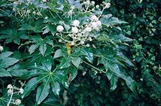 Fatsia japonica - evergreen shrub, large leaves and spread - full sun/partial shade Fatsia Japonica, Japanese Plants, Clematis Montana, Shade Garden Plants, Paper Plants, Foliage Plants, Flowering Plants, Small White Flowers, Variegated Plants