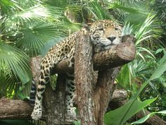 The Belize Zoo, Junior the Jaguar...cutest ever!