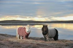These snuggly Shetland ponies in sweaters.