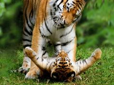 Mother Tiger and Cub Photograph by Juniors Bildarchiv, Photolibrary Three of the eight tiger subspecies became extinct in the 20th century, hunted as trophies and also for body parts that are used in traditional Chinese medicine. All five remaining tiger subspecies are endangered.
