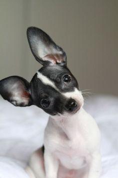 *Rat Terrier
