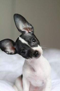 Cute confused and big ears I ♥ this doggy