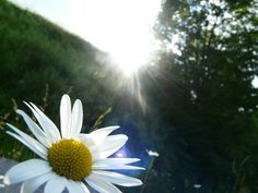 Daisy, sun and nature :3