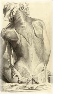 Not sure who did this - fantastic ecorche drawing, looks like it was from a cadaver to me.  Great anatomy study for artists.