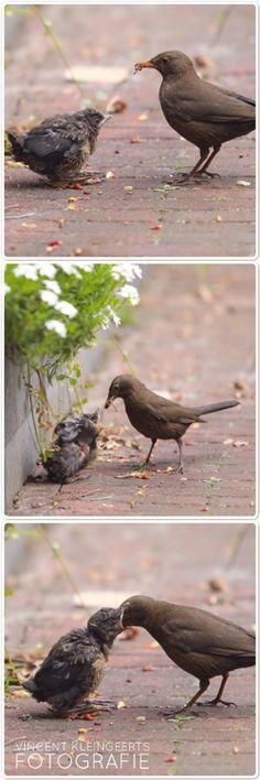 Vogel Merel