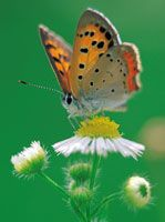 list of butterflies and host plants