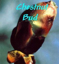 Chestnut Bud - Dificuldade em aprender com os erros do passado / Repetindo as mesmas situações.
