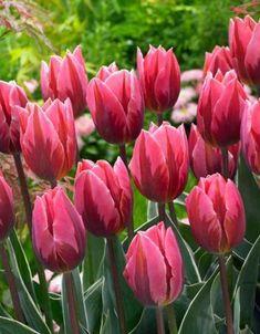 Tulipa 'Pretty Princess'