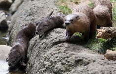 May 9, Oakland Zoo, CA. Ginger the River Otter gave birth to three baby boy otters