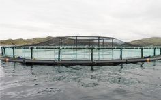 MOVING WITH THE TIMES - Here's some good news from out at sea.  Since we began operations in 1999, our approach to salmon rearing has been based on low stocking densities in small pens linked by galvanised iron walkways to allow for close observation and 'hands-on' husbandry. READ MORE...