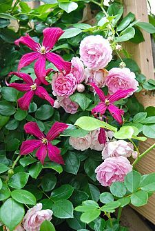 Clematis - Easy to Grow Vine That Spreads Quickly