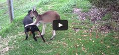 VIDEO: Dog and Kangaroo Play Together!  http://y94.com/blogs/the-morning-playhouse-blog/956/video-dog-and-kangaroo-play-together/