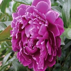 100+ Peony Purple Poppy Flower Seeds , Under The Sun Seeds #Poppy