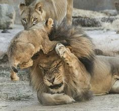 Lion, lioness and cub