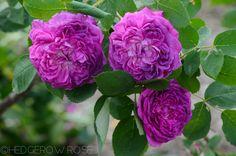 reine des violettes june 2013 5