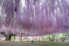 Hanging flowers from one Wisteria tree. Stunning.