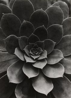 Sempervivum Percarneum, 1922 by Albert Renger-Patzsch