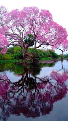 Blossoming Piúva tree n Brazil with it's reflection over water. Magnificent!