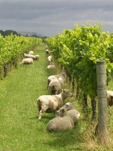 Sheep grazing in vineyard in Hawkes Bay, Gold Medal Wine Club, The North Island, New Zealand New Zealand Wine, New Zealand Travel, Sheep Farm, Sheep And Lamb, Wine Vineyards, Vides, In Vino Veritas, The Beautiful Country, Wine Country