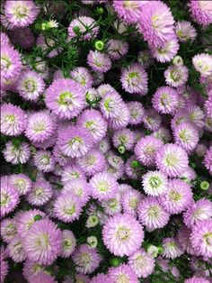 Aster 'Baby Pink'...Sold in bunches of 10 stems from the Flowermonger the wholesale floral home delivery service.