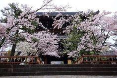 京都金戒光明寺の山門と見事な桜