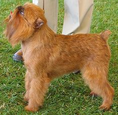 Brussels Griffon= what in the world? It's frightening! Hound Dog Breeds, Toy Dog Breeds, Rare Dog Breeds, Belgian Dog, Griffon Bruxellois, Griffon Dog, Brussels Griffon, Herding Dogs, Animals Images