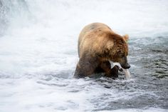 About 2,200 bears reside at Katmai National Park in Alaska, with 60 or so regulars that hang around Brooks Camp every summer.